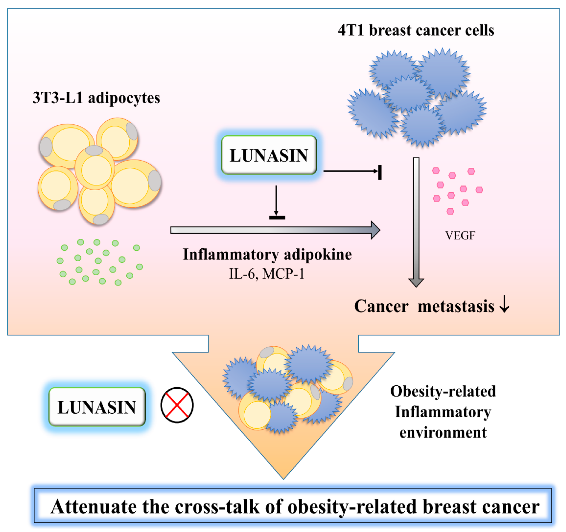 Ijms Free Full Text Lunasin Attenuates Obesity Associated Metastasis Of 4t1 Breast Cancer Cell Through Anti Inflammatory Property