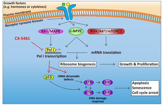 Ribosomes Diagram Headings Animal Cell Ribosomes Wire Diagrams
