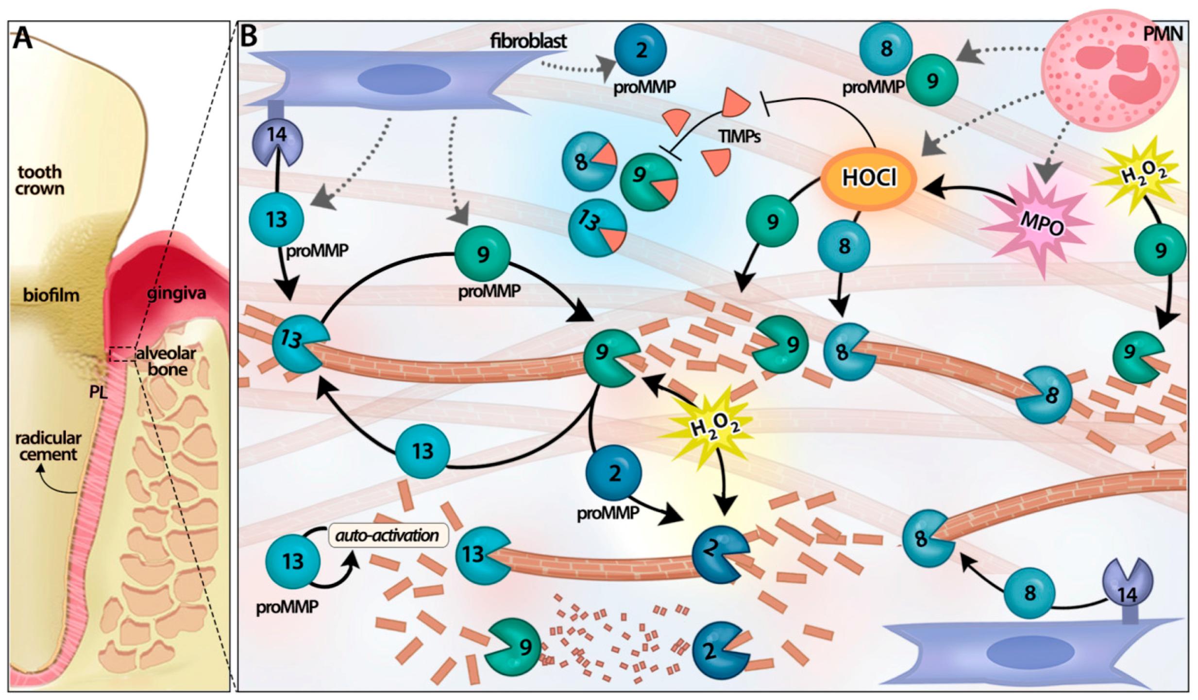 matrix metalloproteinases essay