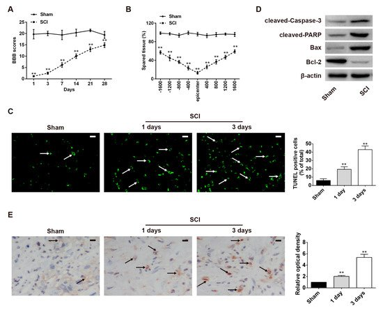 Long Coding RNA XIST Contributes to Neuronal Apoptosis through the Downregulation of AKT Phosphorylation and Is Negatively Regulated by miR-494 in Rat Spinal Cord Injury