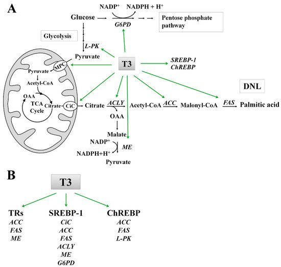 Action of Thyroid Hormones, T3 and T2, on Hepatic Fatty Acids: Differences in Metabolic Effects and Molecular Mechanisms