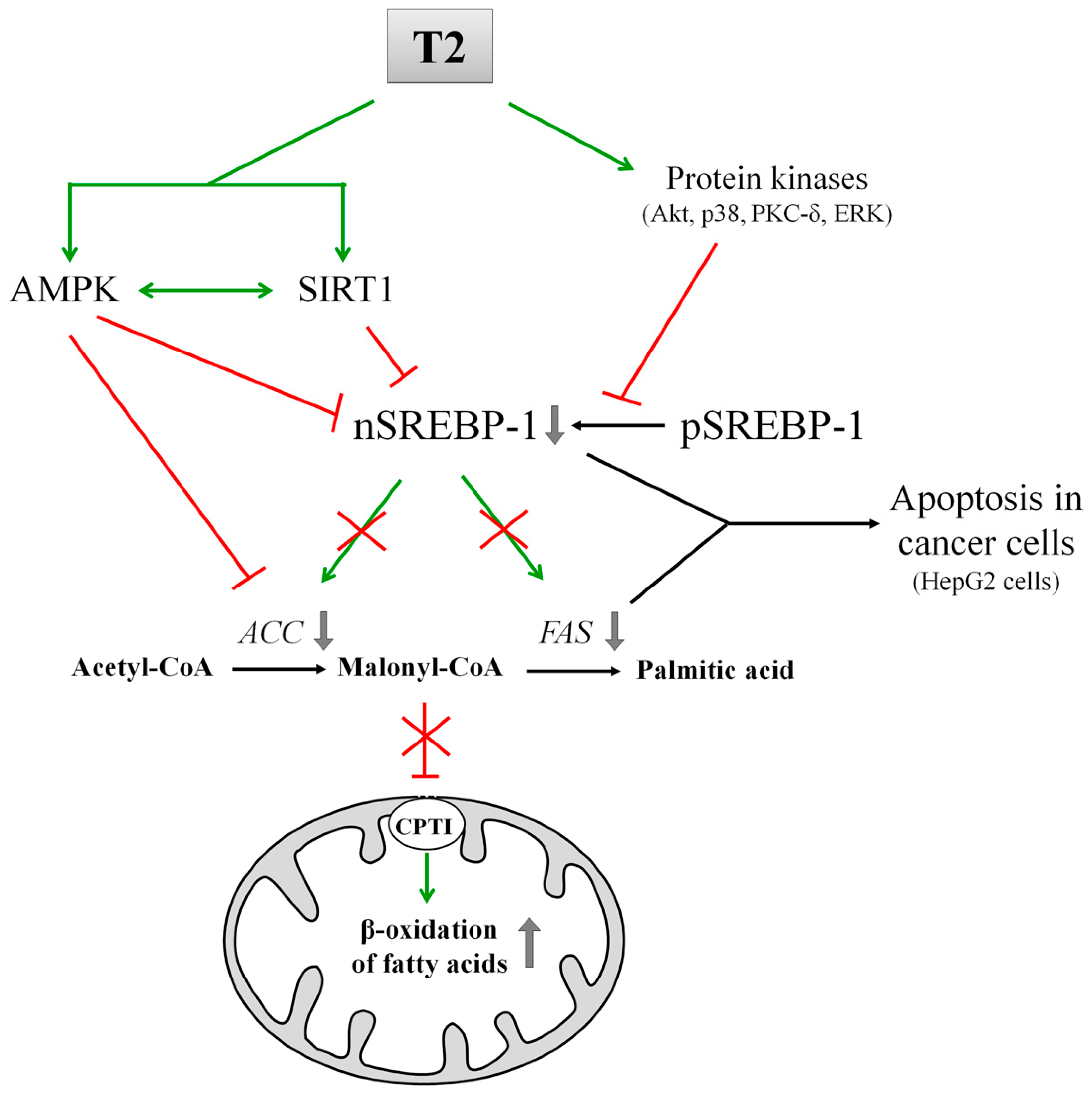 Ijms Free Full Text Action Of Thyroid Hormones T3 And T2 On