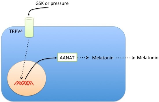 TRPV4 Stimulation Induced Melatonin Secretion by Increasing Arylalkymine N-acetyltransferase AANAT Protein Level