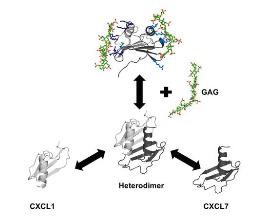 Chemokine CXCL7 Heterodimers: Structural Insights, CXCR2 Receptor Function, and Glycosaminoglycan Interactions