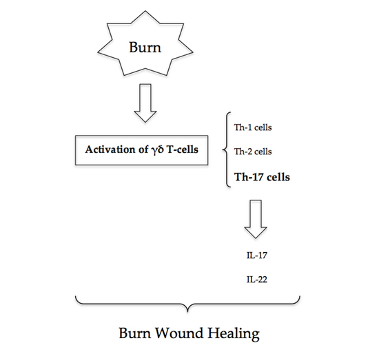 The Role of Th-17 Cells and γδ T-Cells in Modulating the Systemic Inflammatory Response to Severe Burn Injury