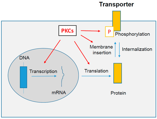 Protein Kinases C-Mediated Regulations of Drug Transporter Activity, Localization and Expression