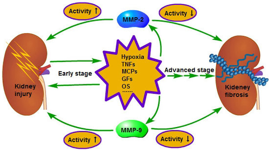 MMP-2 and 9 in Chronic Kidney Disease