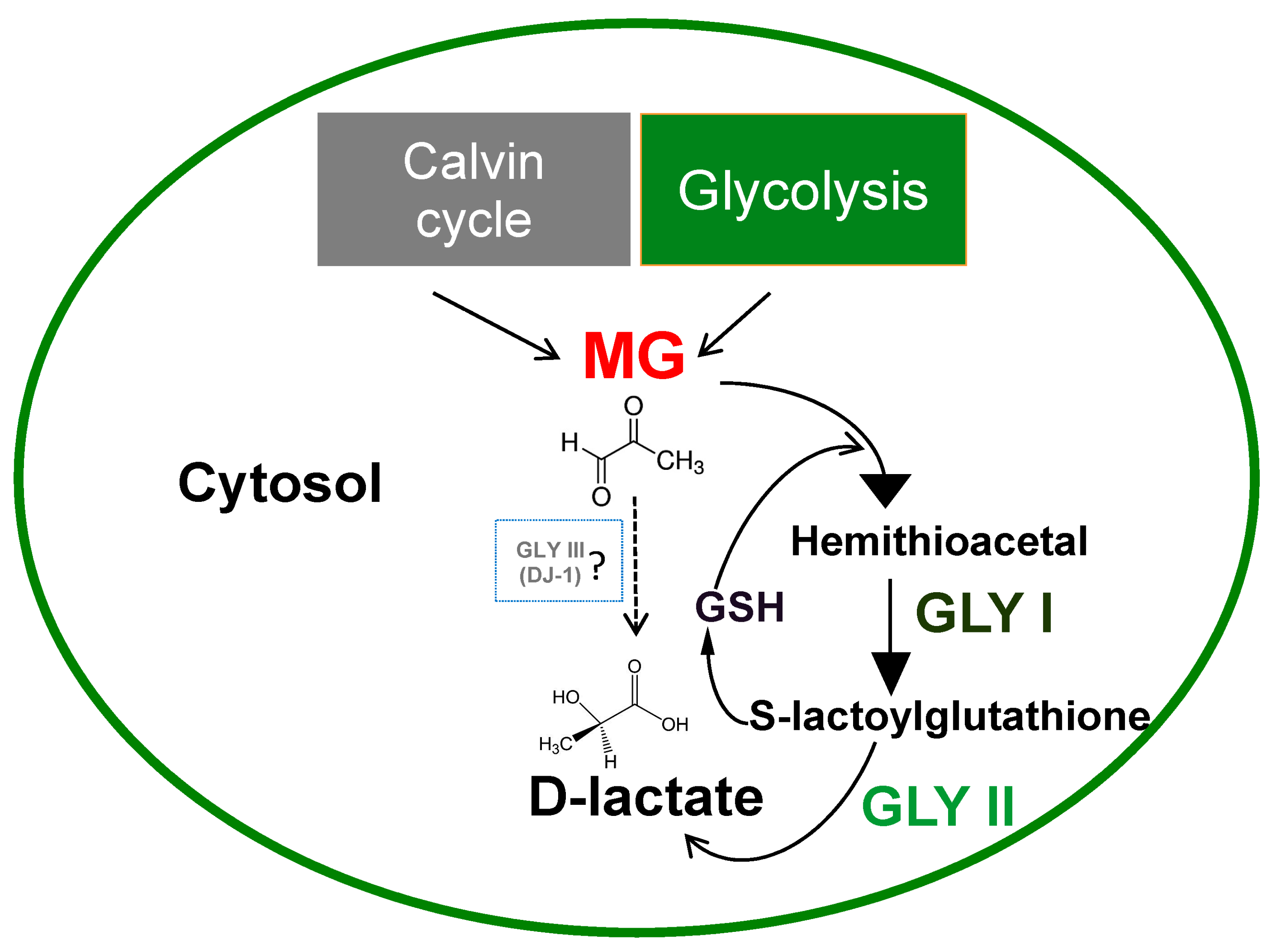 IJMS | Free Full-Text | Glyoxalase Goes Green: The Expanding