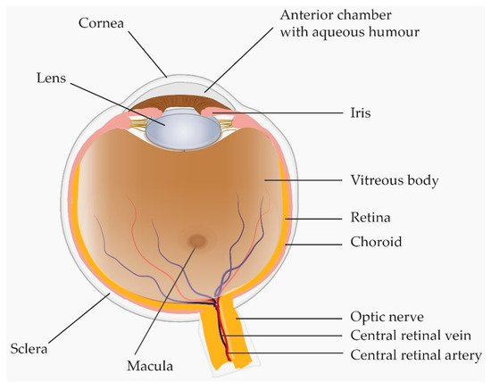 Ijms Free Full Text A Review Proteomics In Retinal Artery