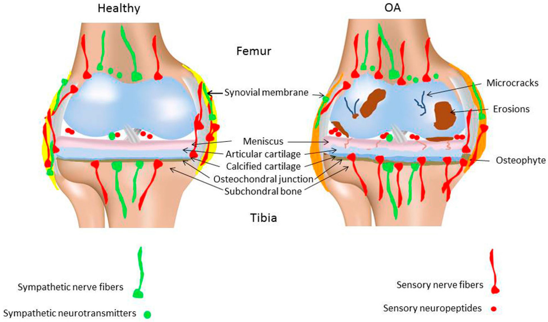 Sympathetic nerve fibers penetrate