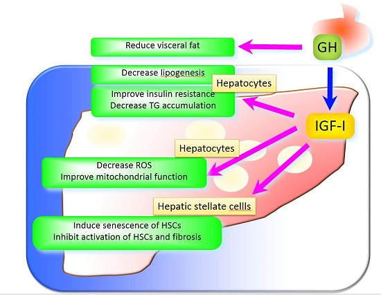 Ijms Free Full Text The Role Of Growth Hormone And Insulin Like