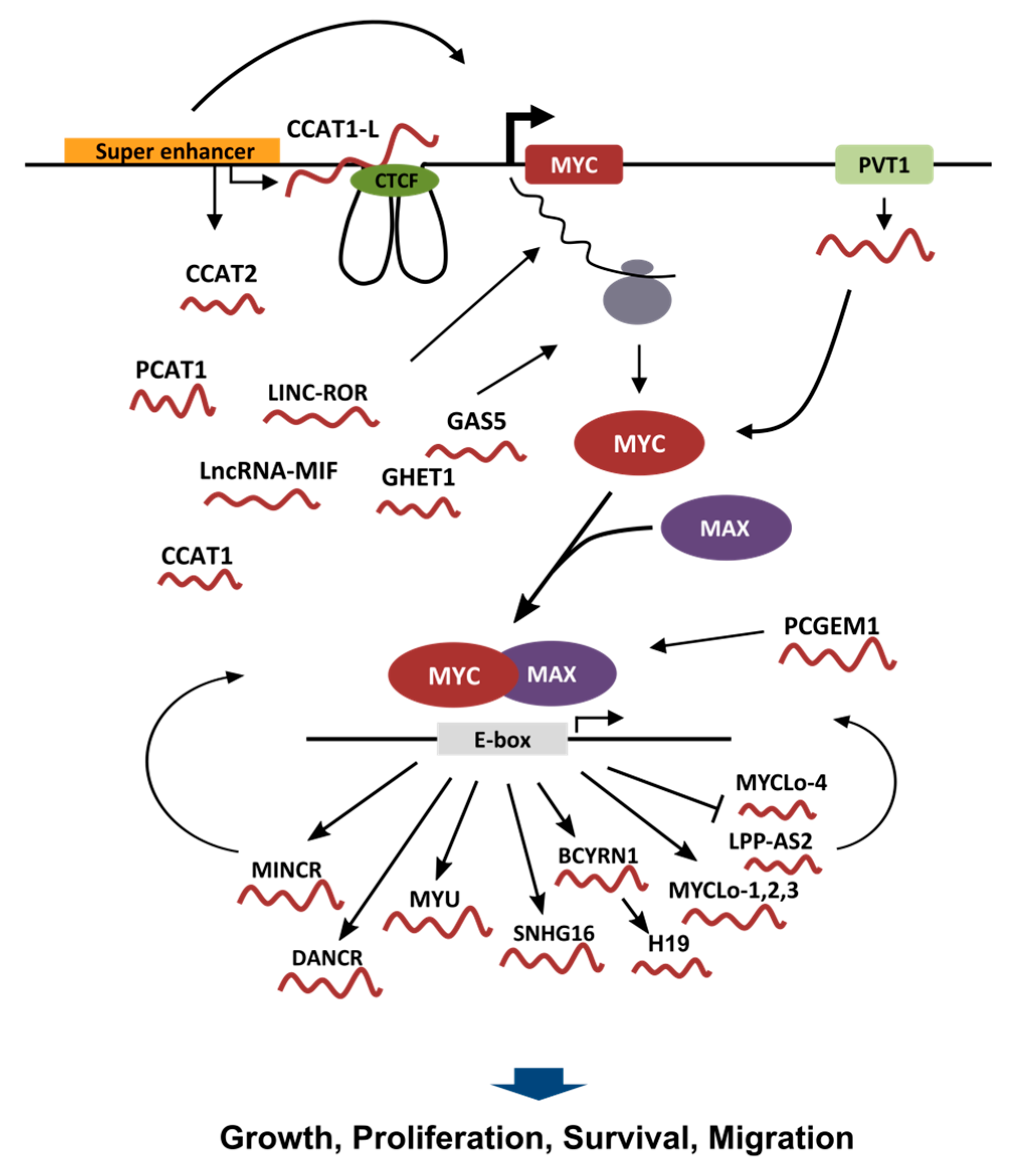lncRNAs and MYC: An Intricate Relationship