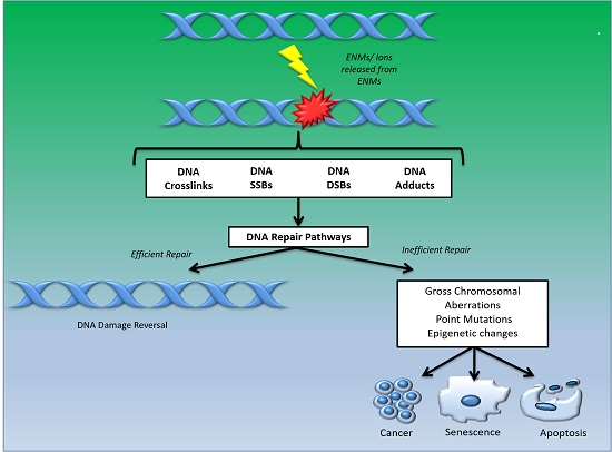 Ijms Free Full Text Exposure To Engineered Nanomaterials Impact On Dna Repair Pathways Html