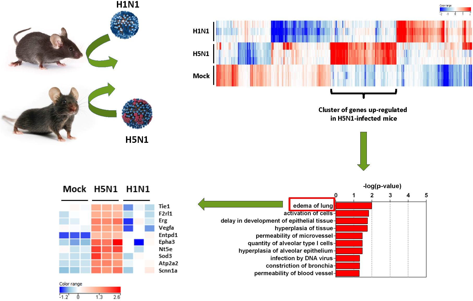 Research on Zoonotic (Animal Origin) Influenza (Flu) Viruses of Public Health Concern