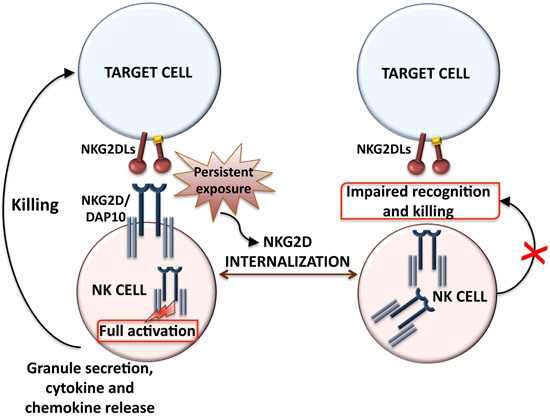 Ijms free full text regulation of nkg2d dependent nk cell graphical abstract ccuart Images