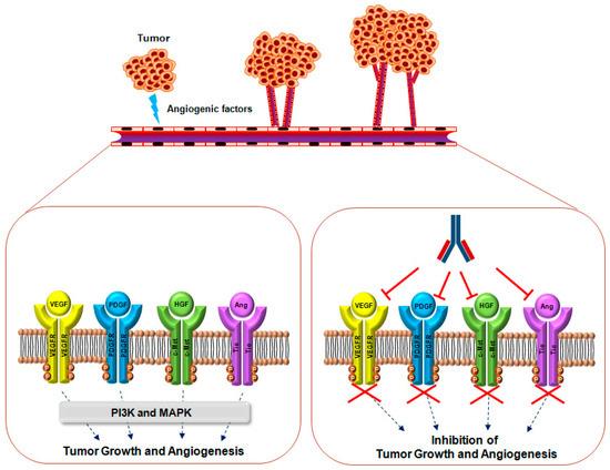 Ijms Special Issue Angiogenesis And Anti Angiogenesis