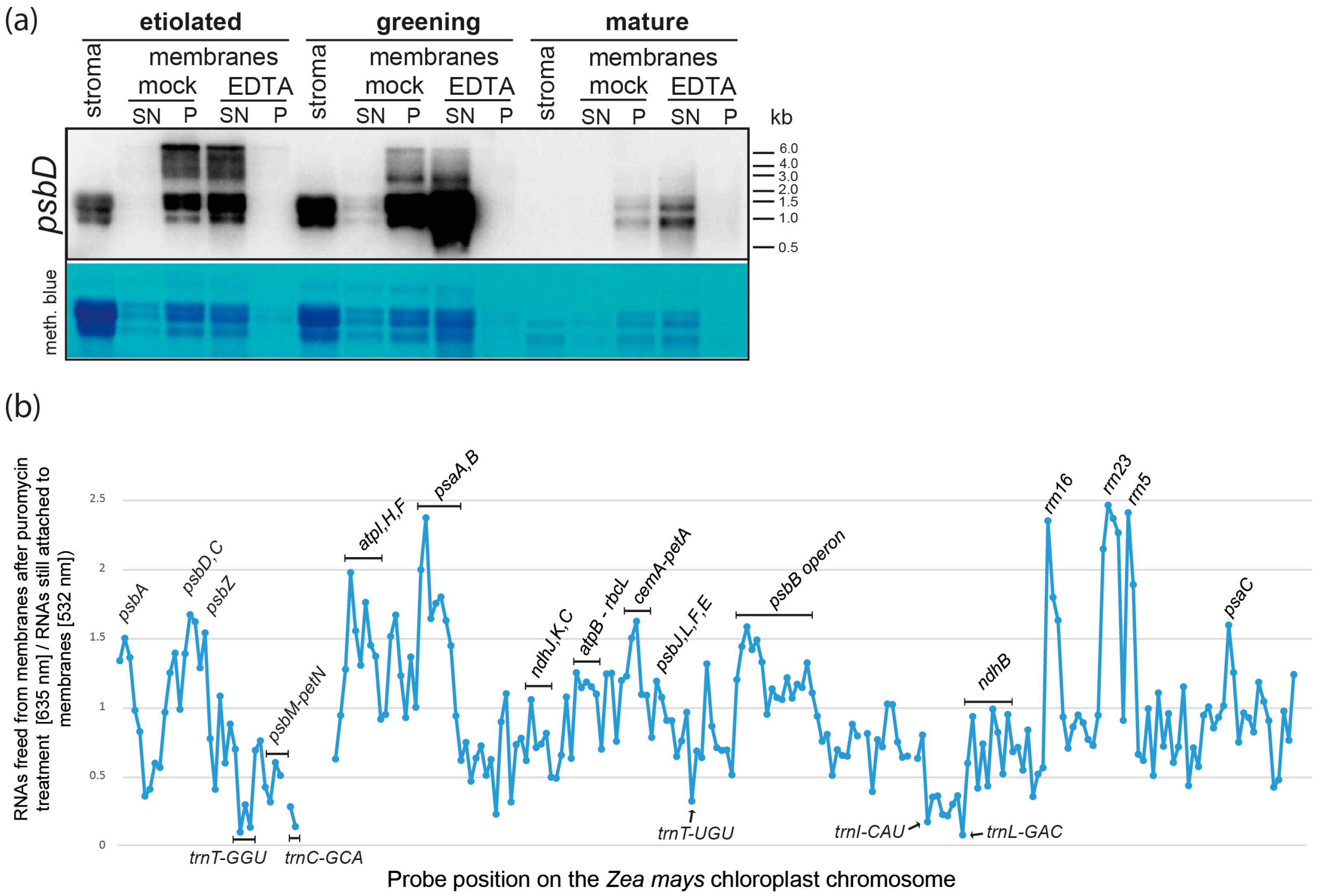 IJMS | Free Full-Text | Stable Membrane-Association of mRNAs in ...