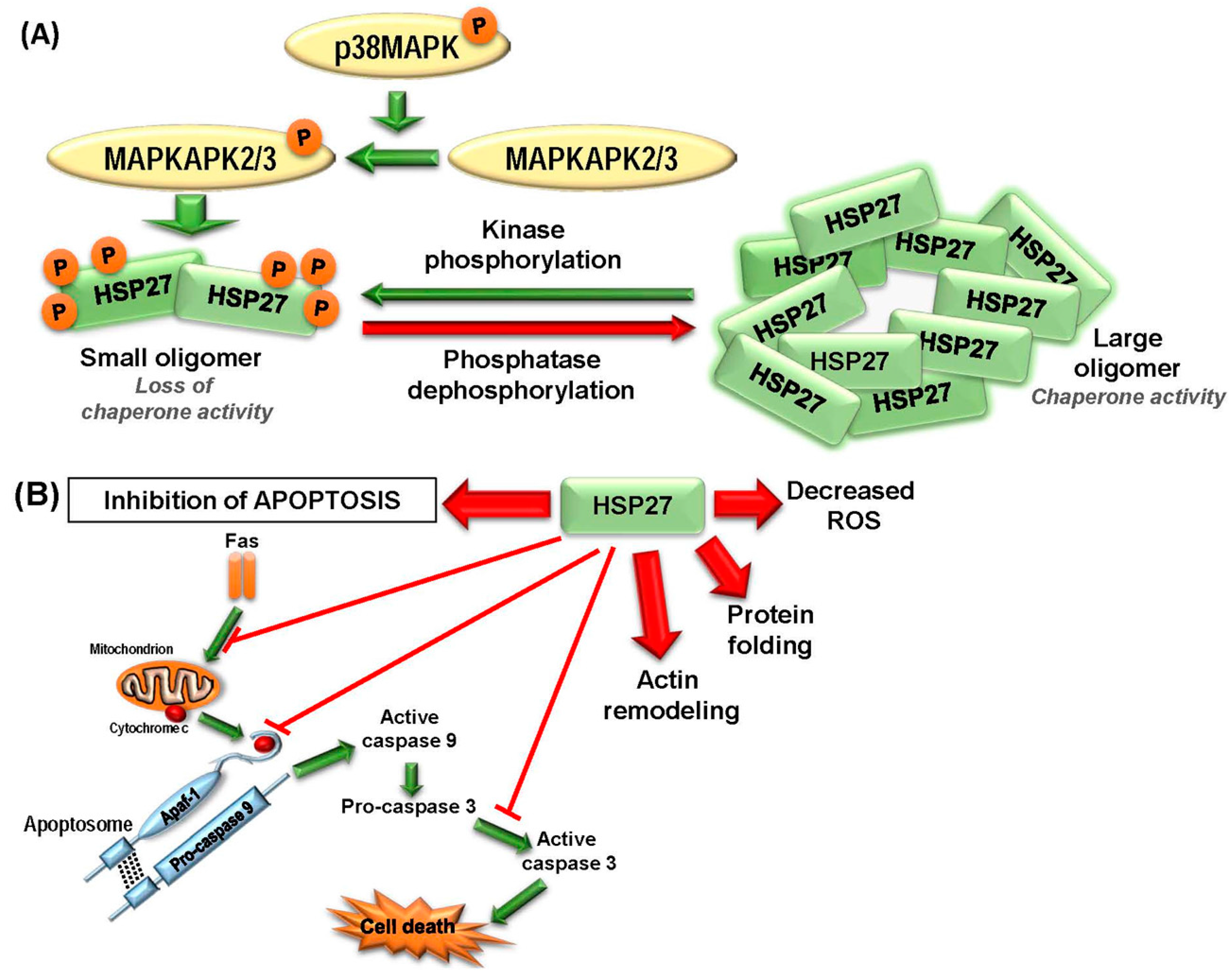 Ijms Free Full Text Targeting Heat Shock Proteins In Cancer A Galaxy Note 3 Block Diagram 18 01978 G002