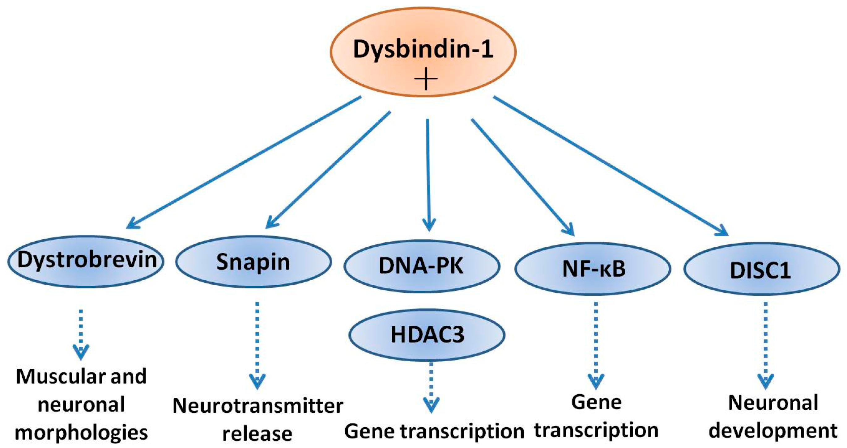 IJMS | Free Full-Text | Dysbindin-1 Involvement in the Etiology of ...