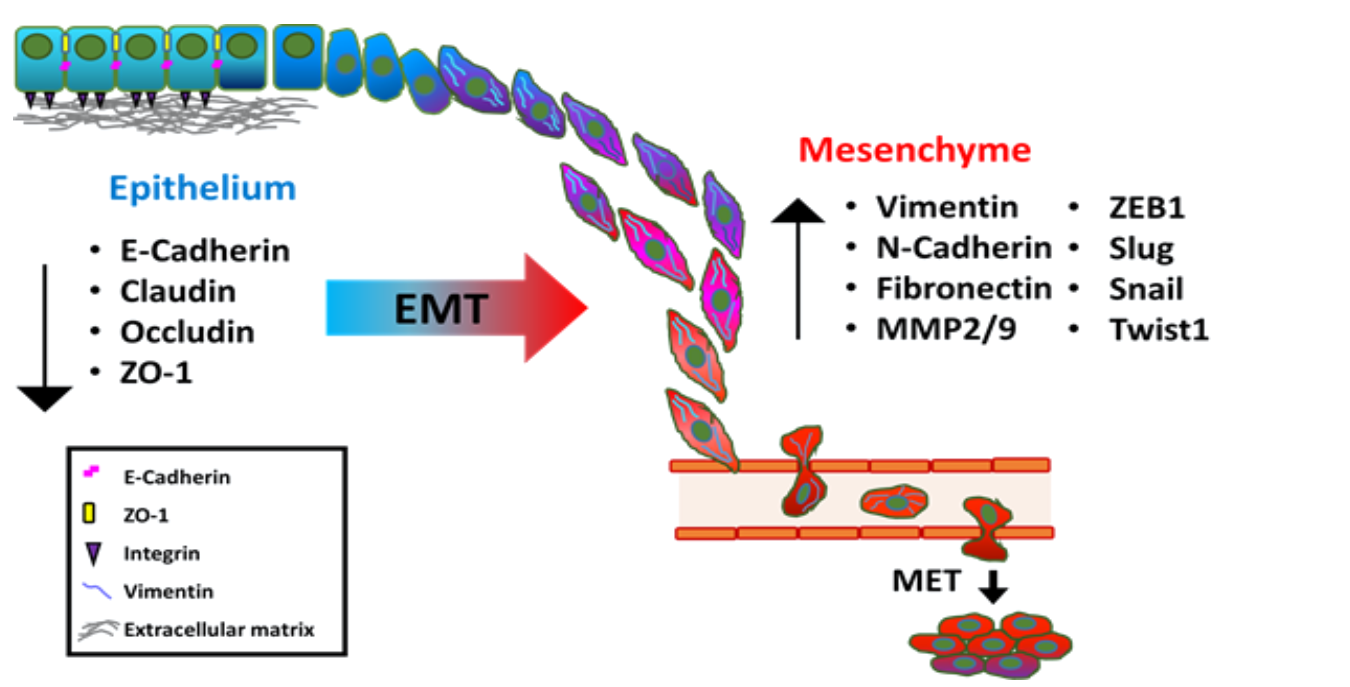 Ijms Free Full Text The Role And Mechanism Of