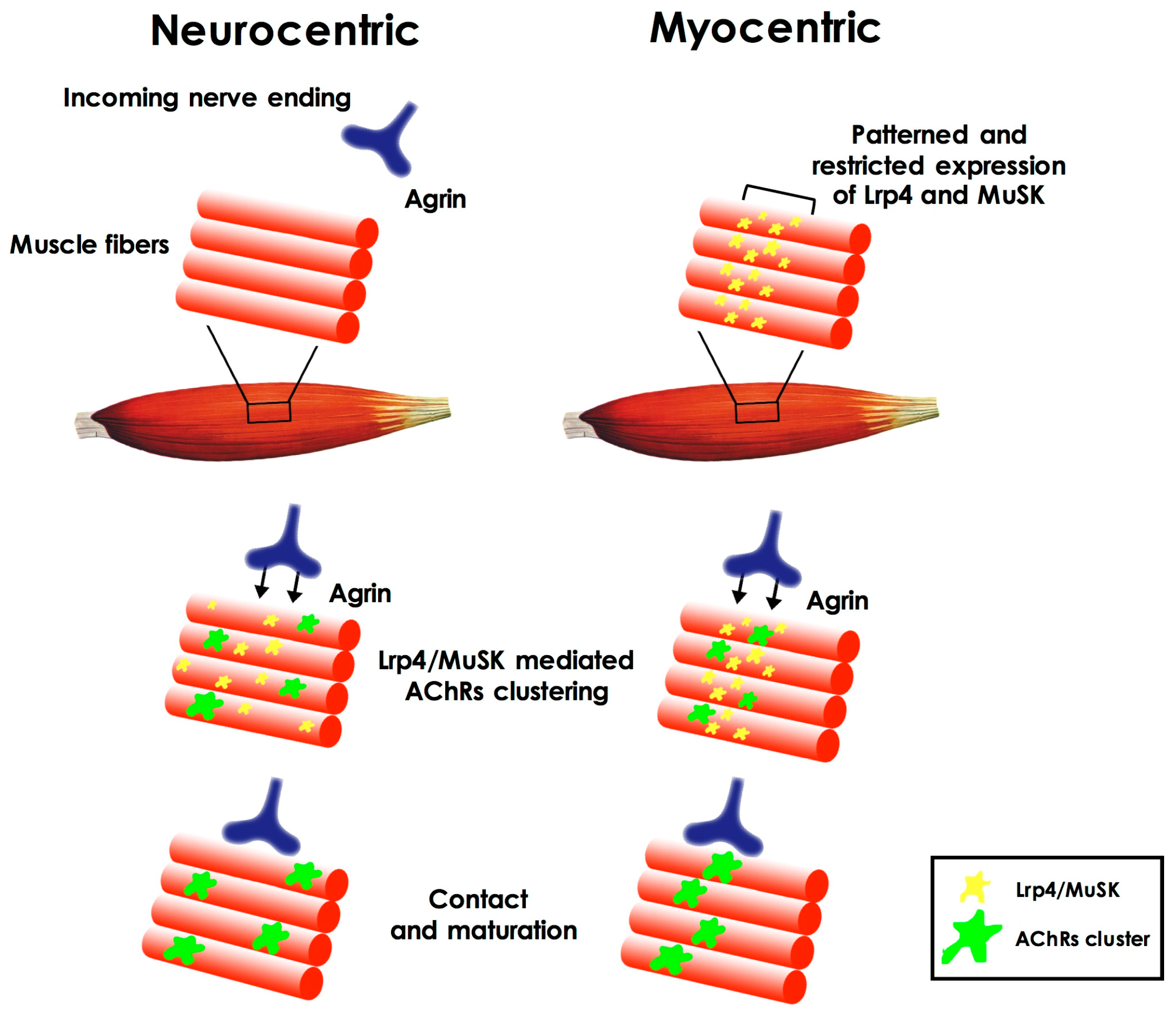 Neuromuscular Junction Diagram