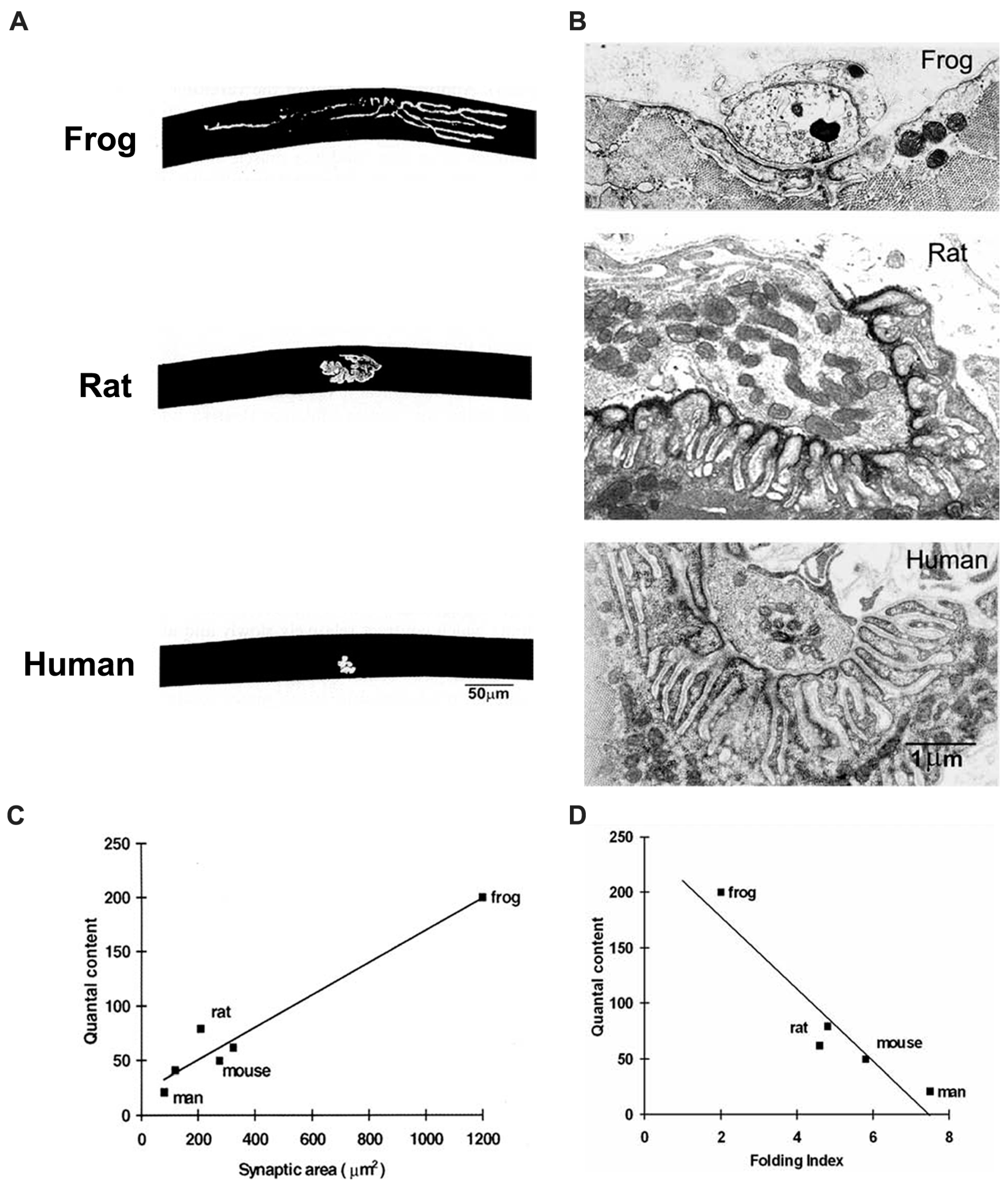 IJMS   Free Full-Text   The Structure of Human Neuromuscular ...