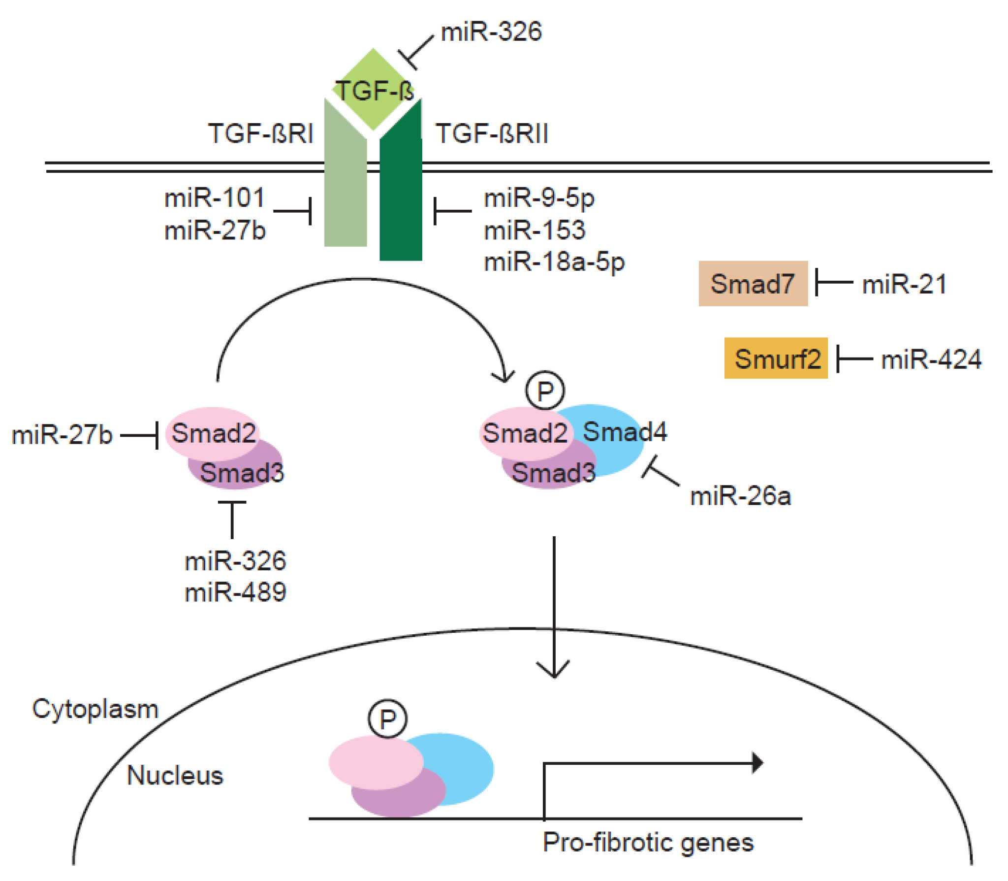 IJMS | Free Full-Text | Role of MicroRNAs in TGF-β Signaling Pathway