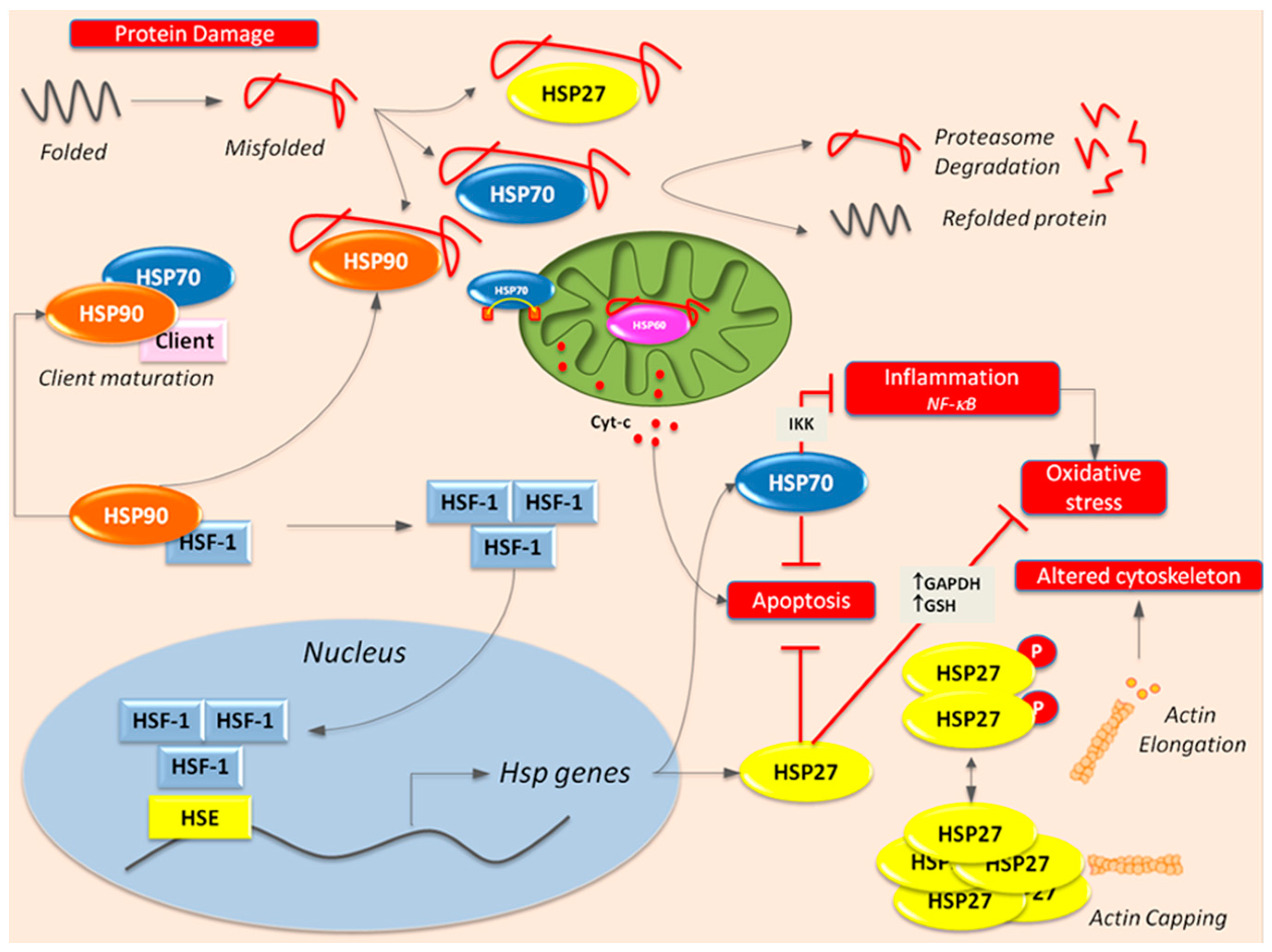 IJMS | Free Full-Text | Heat Shock Proteins in Vascular