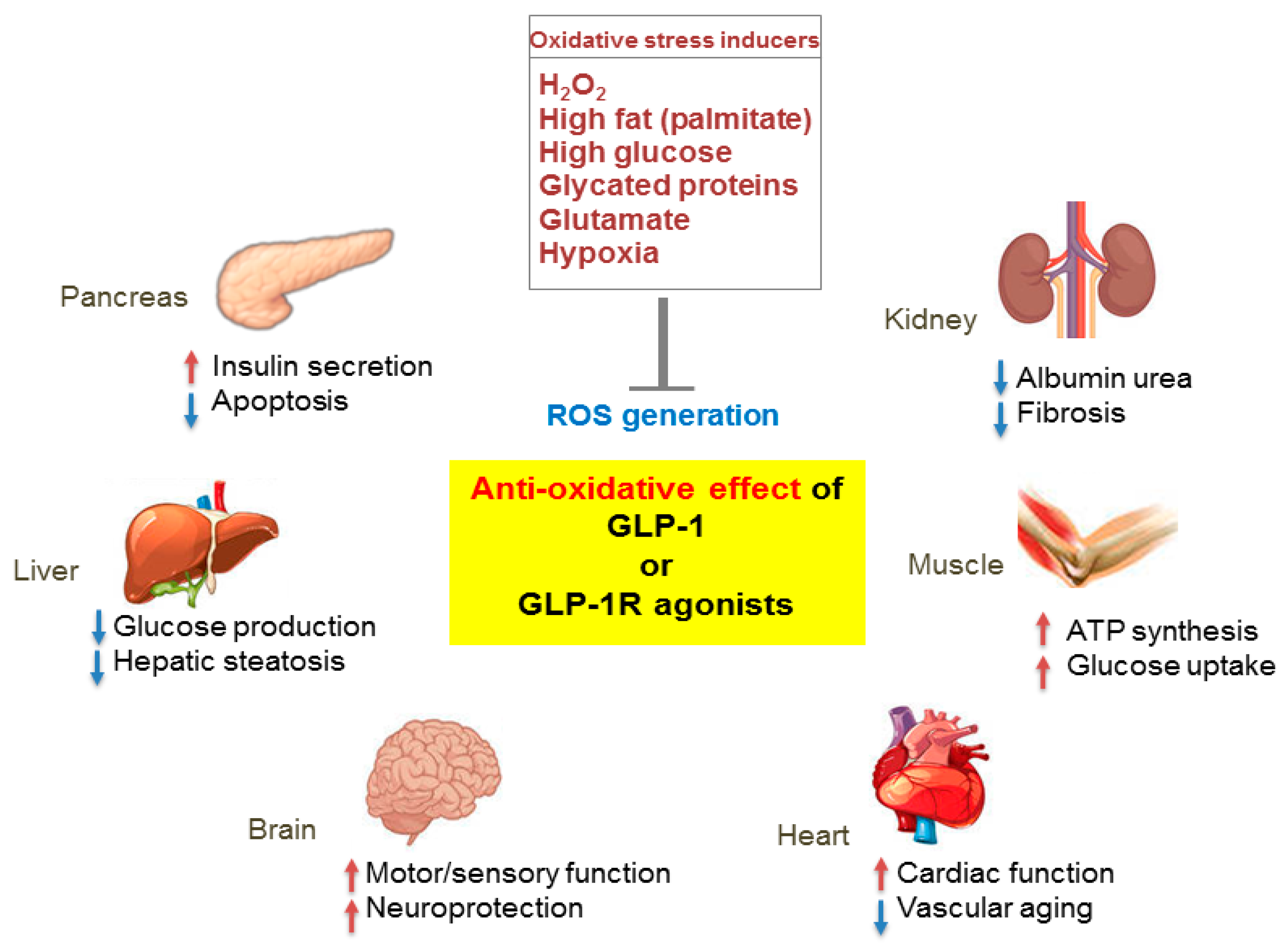 IJMS | Free Full-Text | Effects of Glucagon-Like Peptide-1 on ...