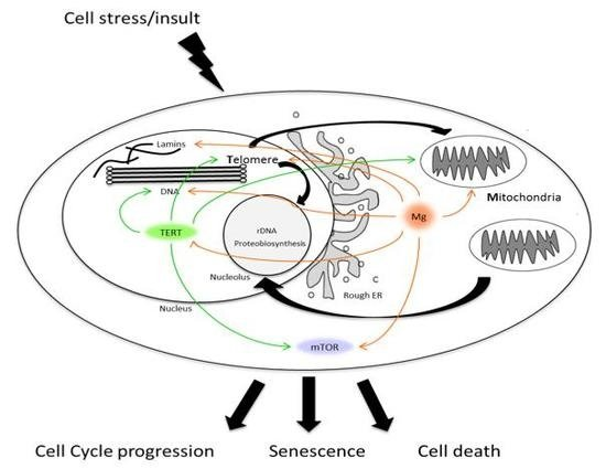 IJMS | Free Full-Text | Telomere Homeostasis: Interplay with