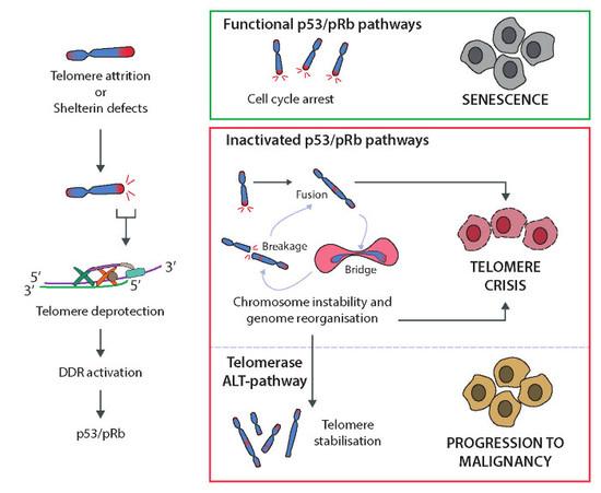 telomerase injections