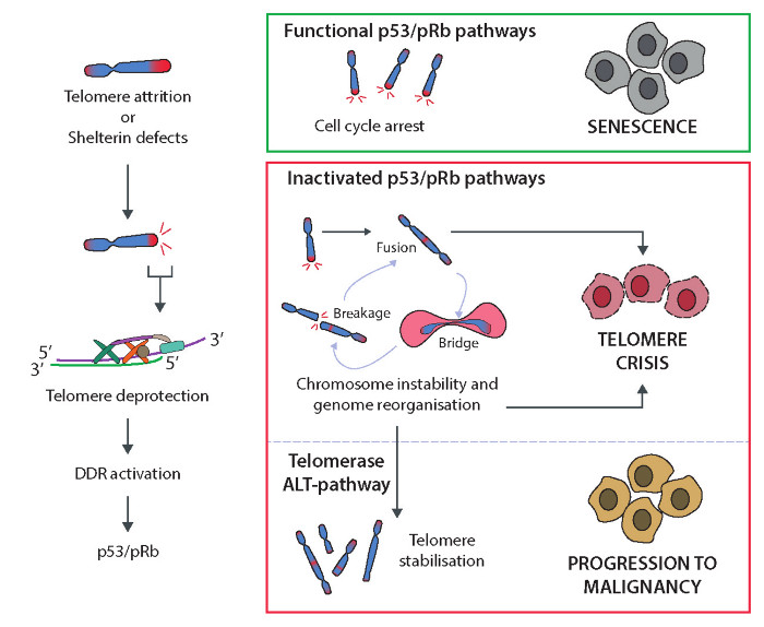An analysis of the role of telomerese in the aging process and cancer