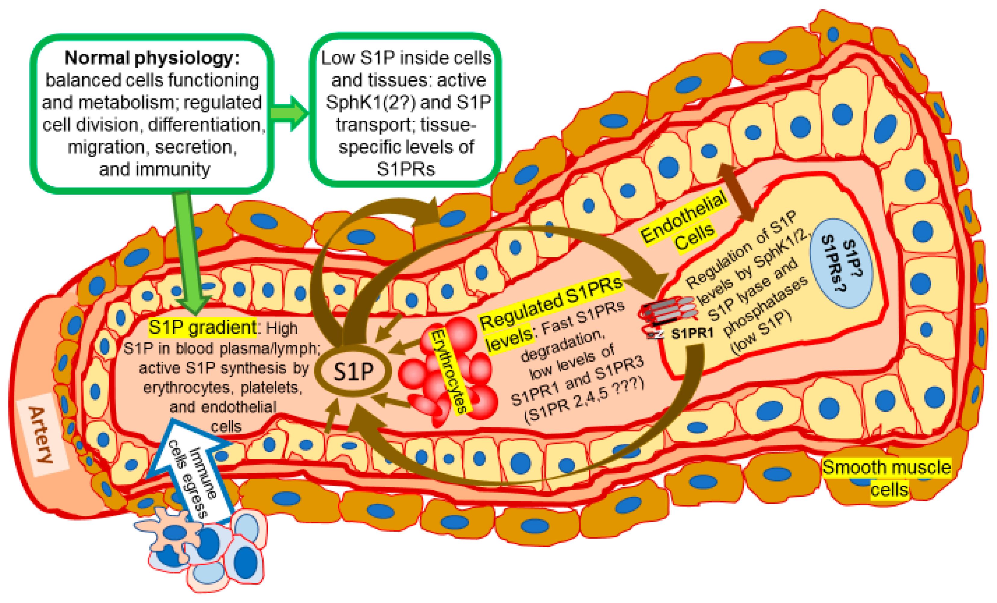 Ijms Free Full Text Expansion Of Sphingosine Kinase