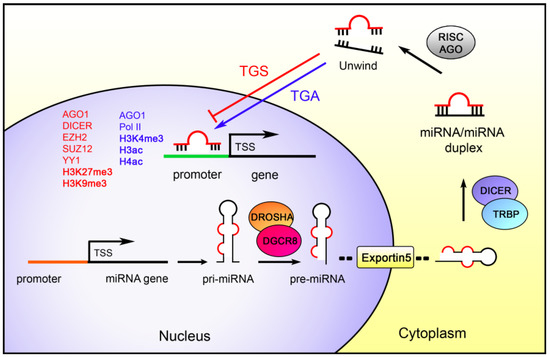 IJMS | Free Full-Text | Epigenetics and MicroRNAs in Cancer