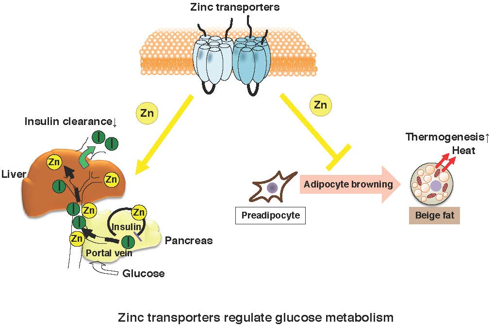 Ijms Free Full Text Role Of Zinc Homeostasis In The Pathogenesis