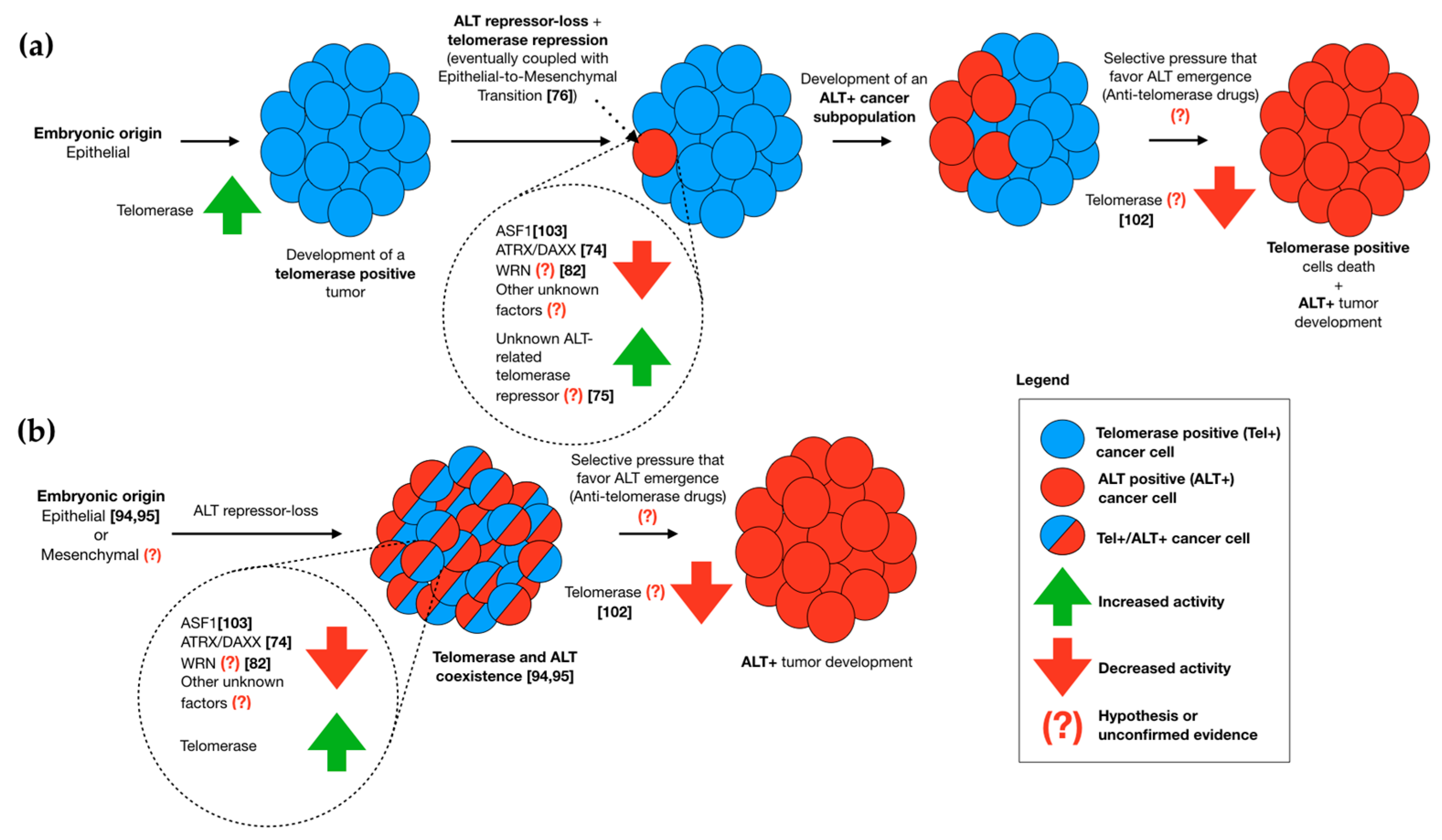 an introduction to the telomere telomerase hypothesis of aging and cancer Telomeres and telomerase in aging and cancer and cancer cells gt the telomere hypothesis for telomeres and telomerase in cancer - telomeres.