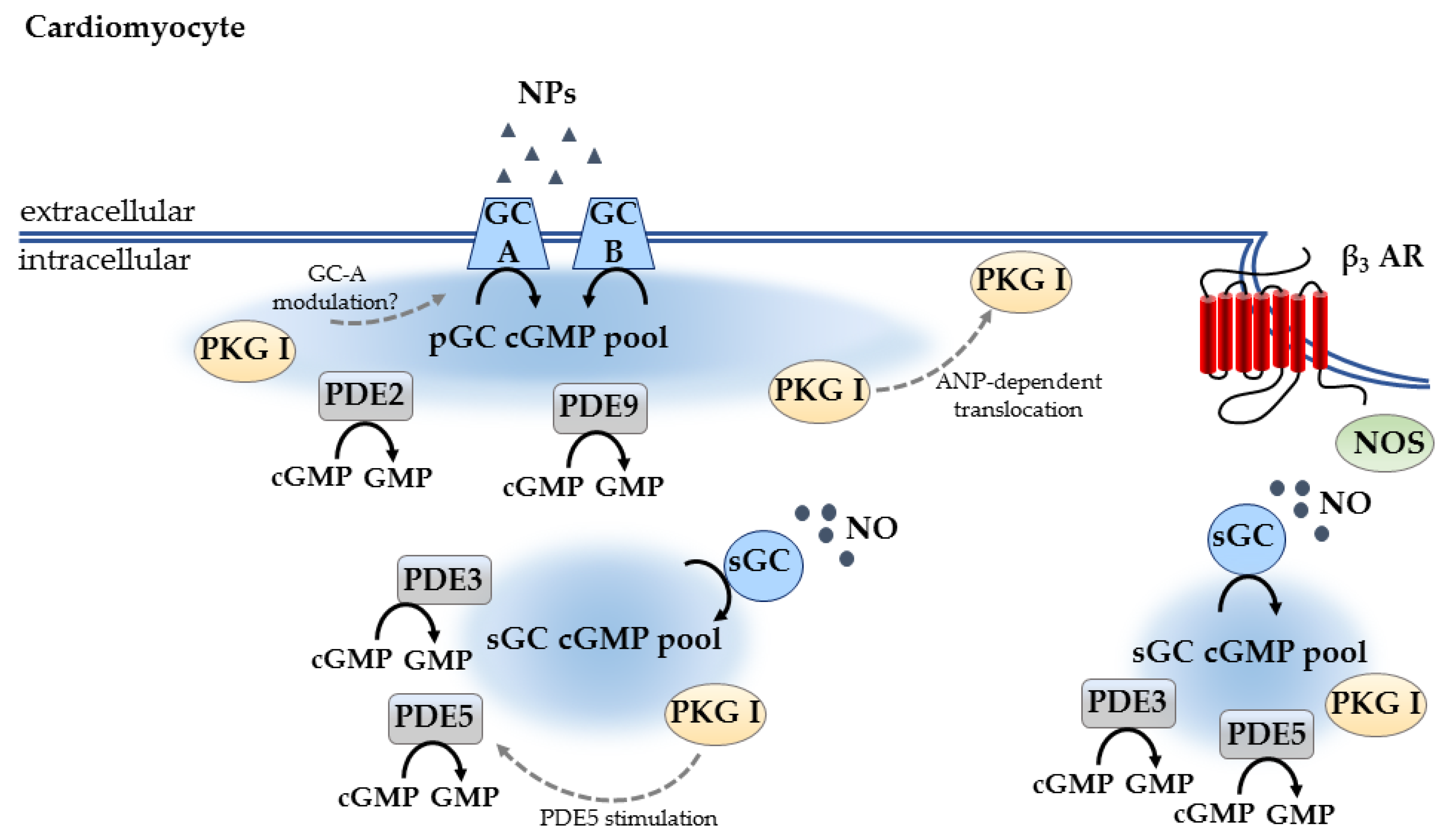 Ijms Free Full Text Cgmp Signaling In The Cardiovascular System