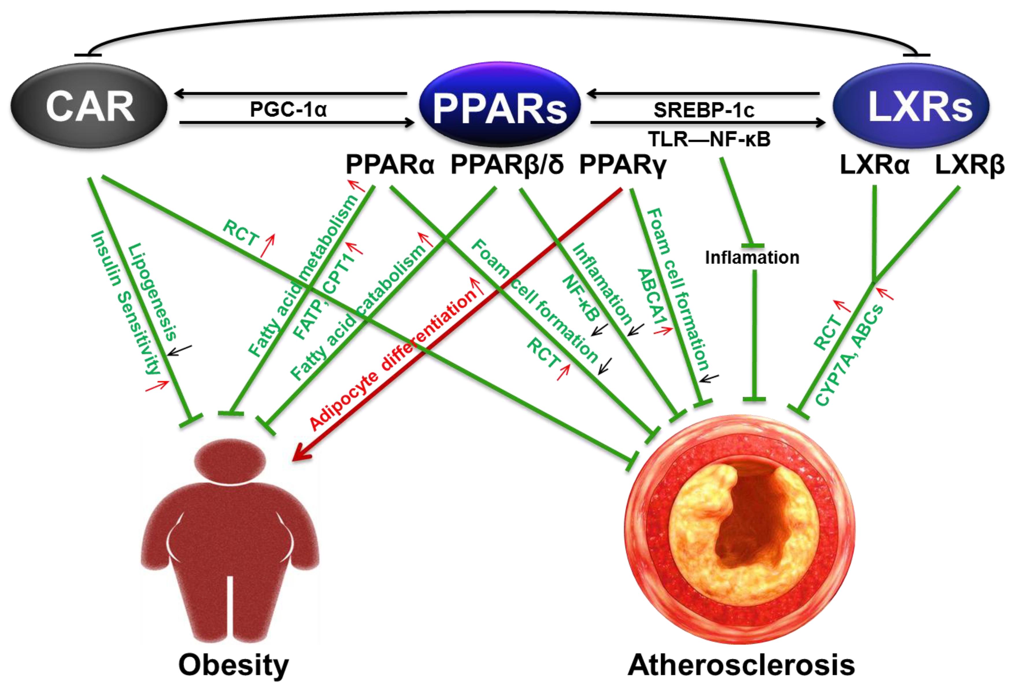 relationship between hyperlipidaemia and atherosclerosis definition