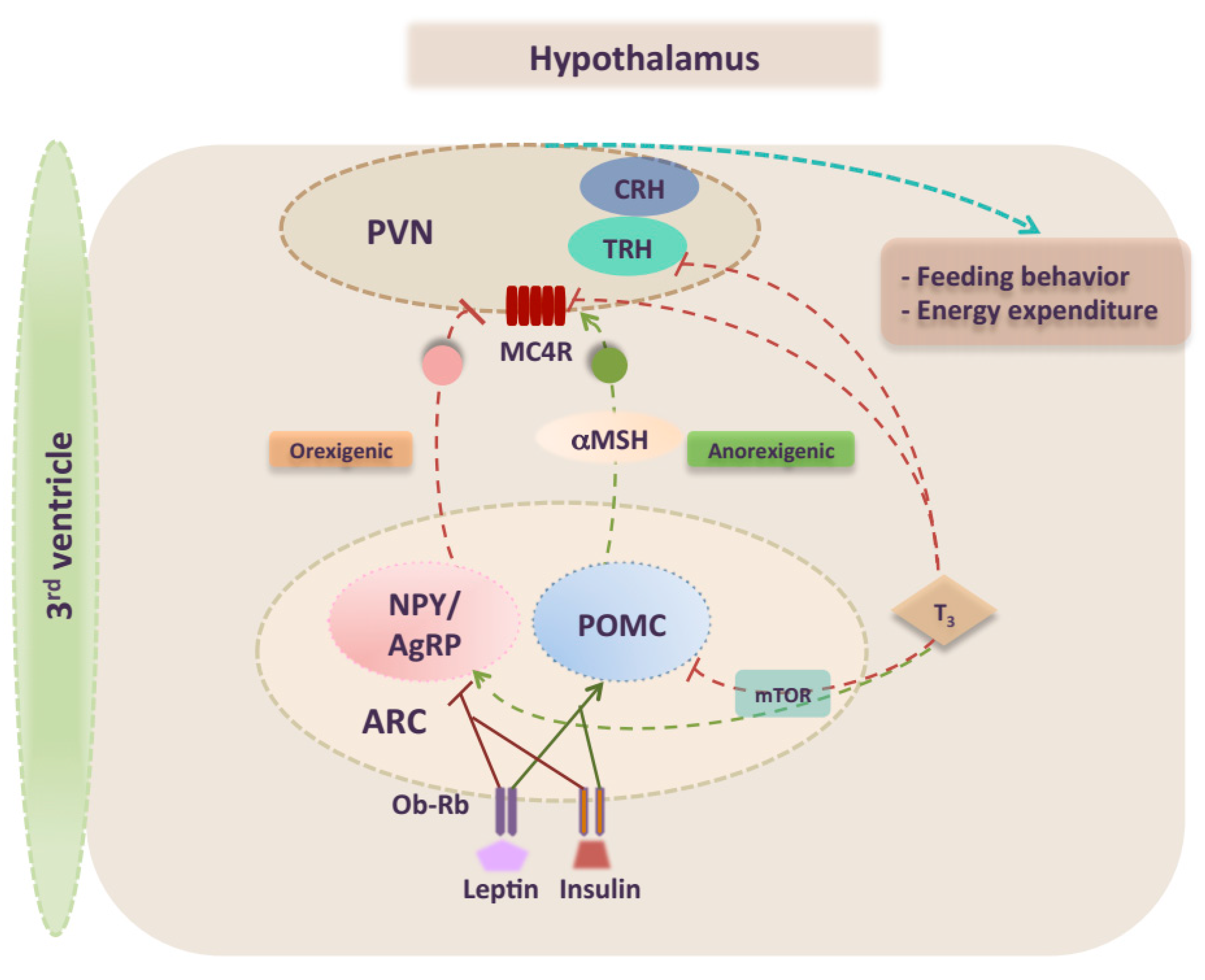 Ijms Free Full Text Integrating Thyroid Hormone Signaling In