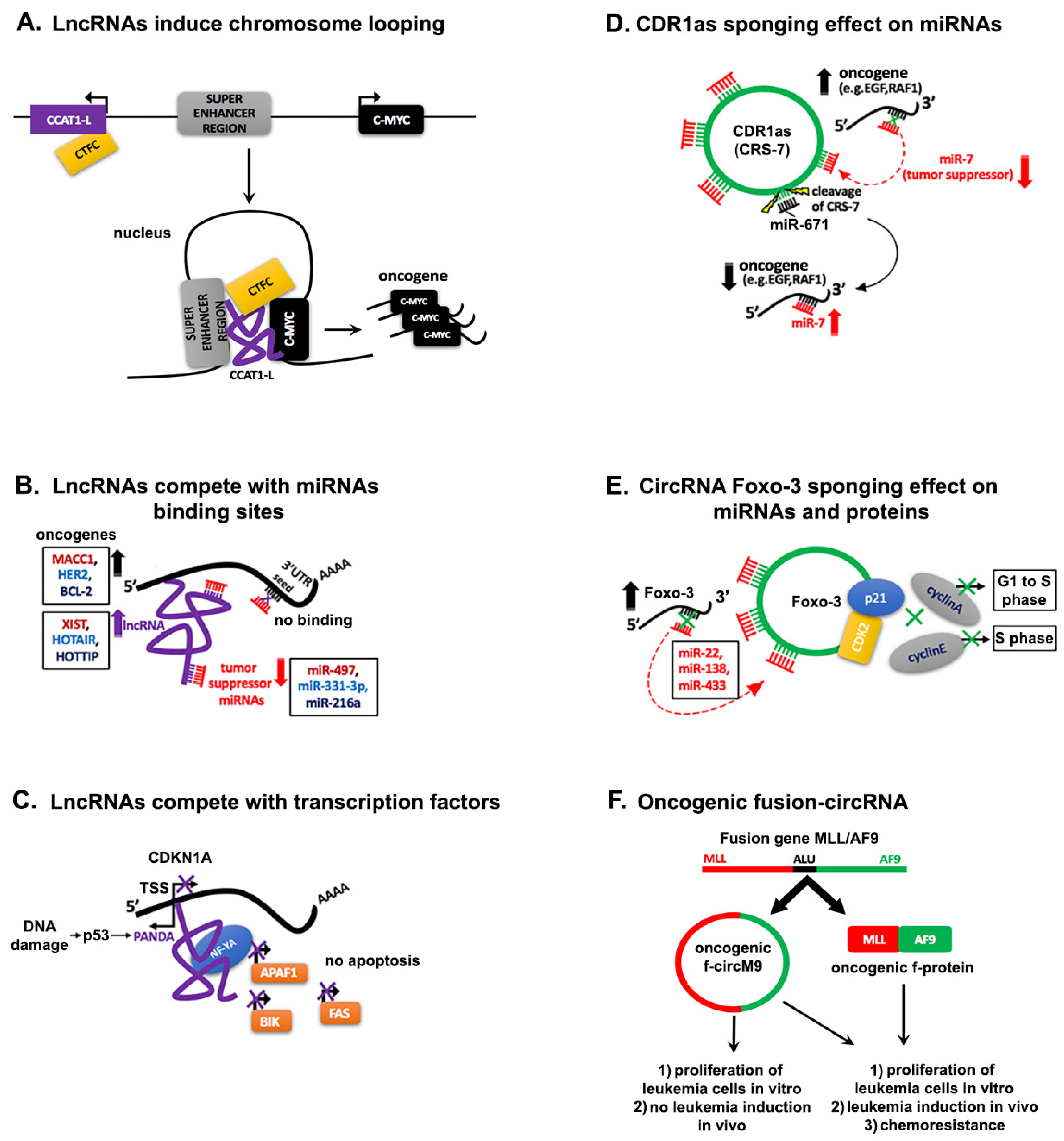 Ijms Free Full Text The Nefarious Nexus Of Noncoding Rnas In Cancer 7 Circuit Diagram No