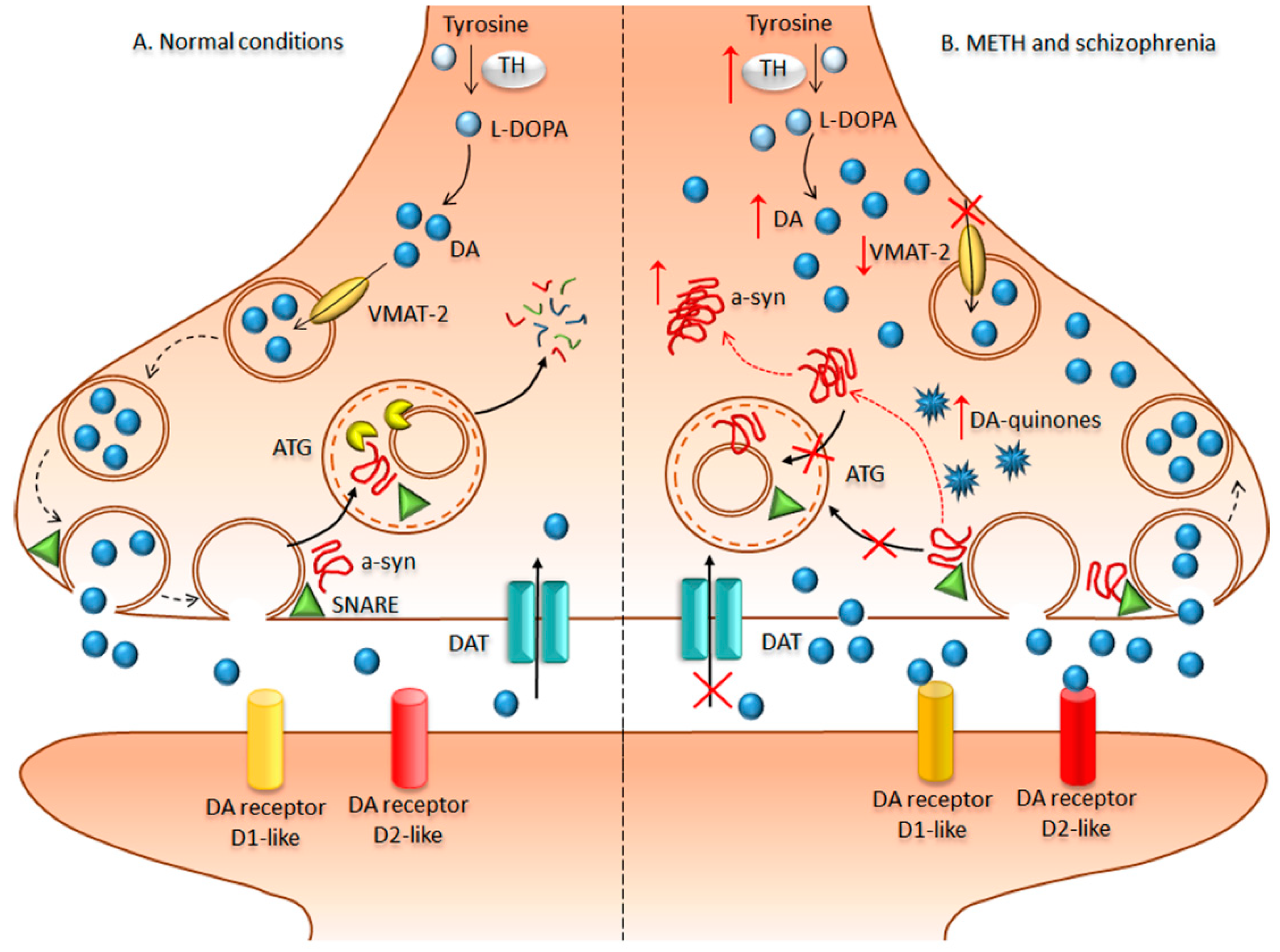 IJMS | Free Full-Text | mTOR-Related Brain Dysfunctions in