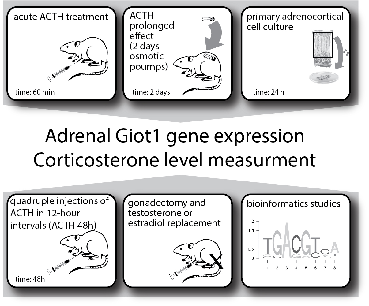 IJMS | Free Full-Text | Effect of ACTH and hCG on the