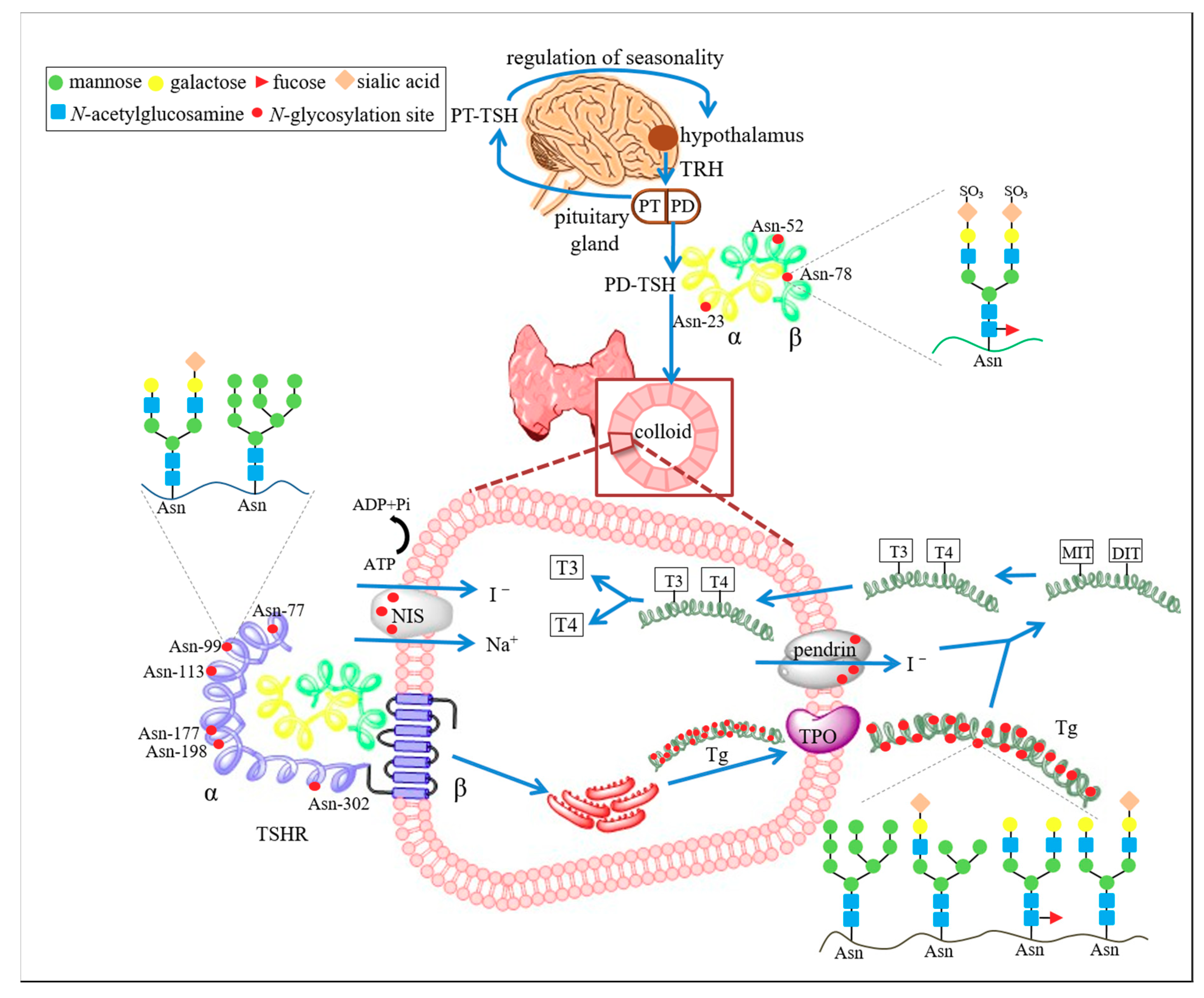 Ijms Free Full Text Glycosylation In The Thyroid Gland Vital