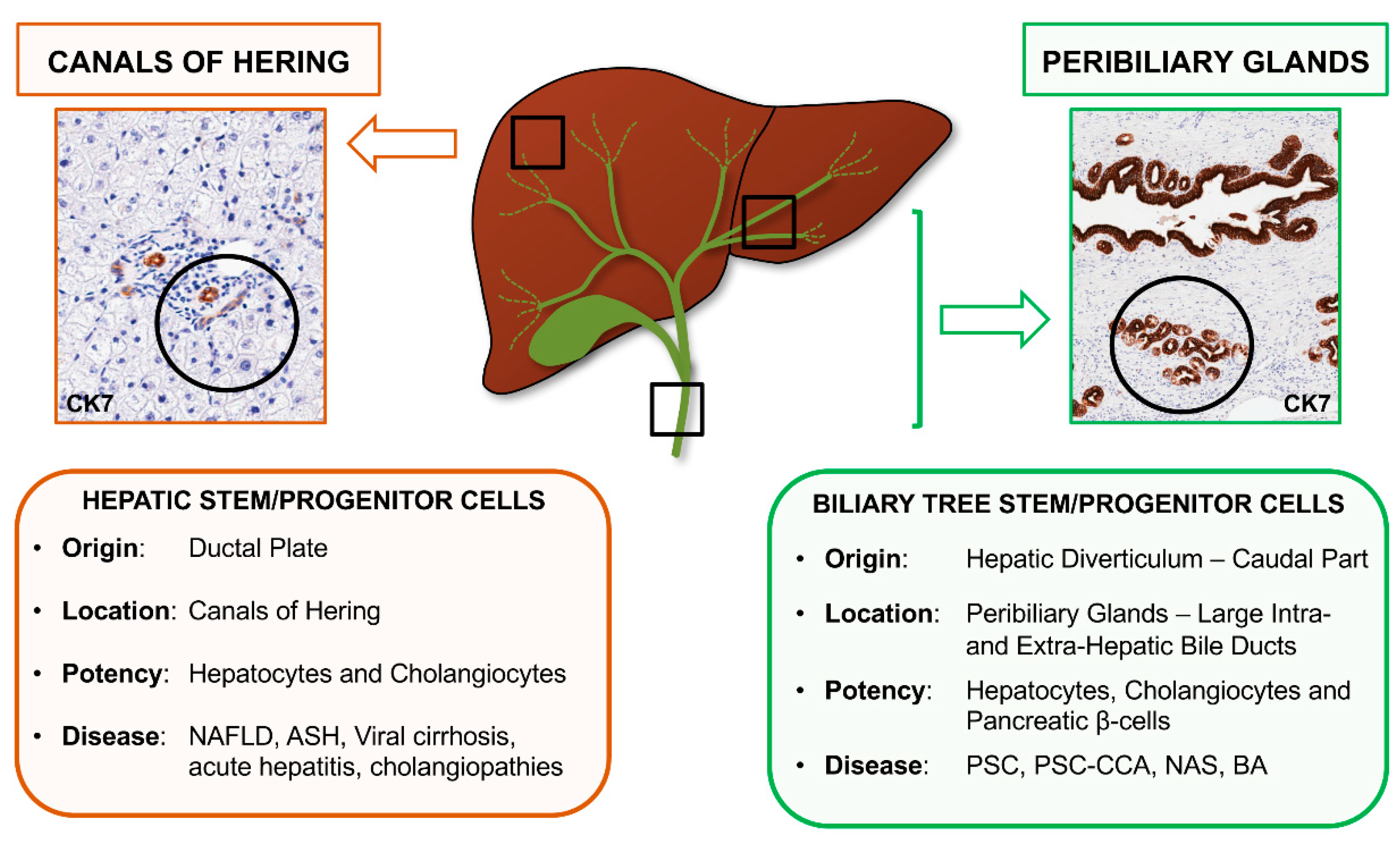 IJMS | Free Full-Text | Contribution of Resident Stem Cells to Liver