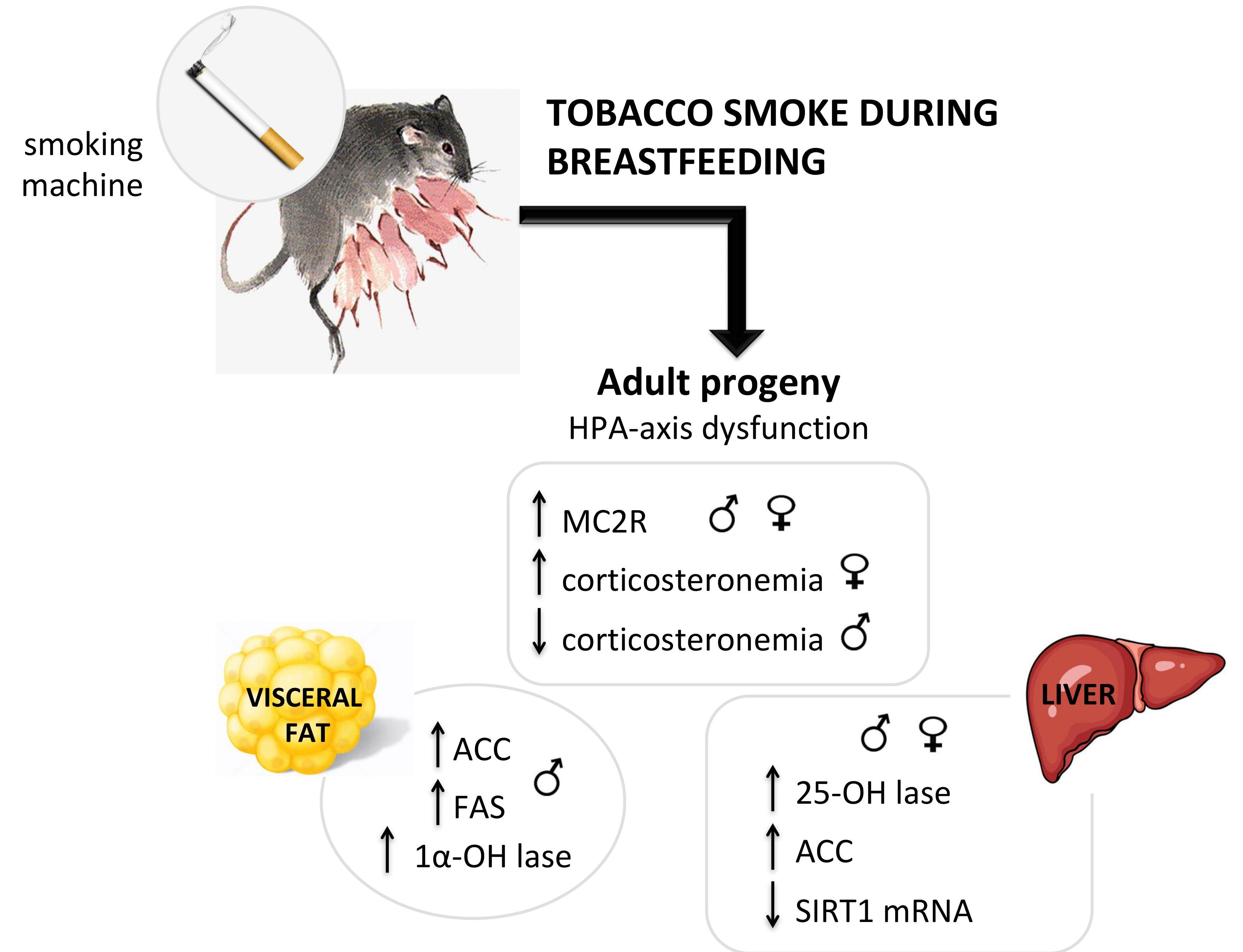 Smoking when breastfeeding. Harm of smoking during breastfeeding 41