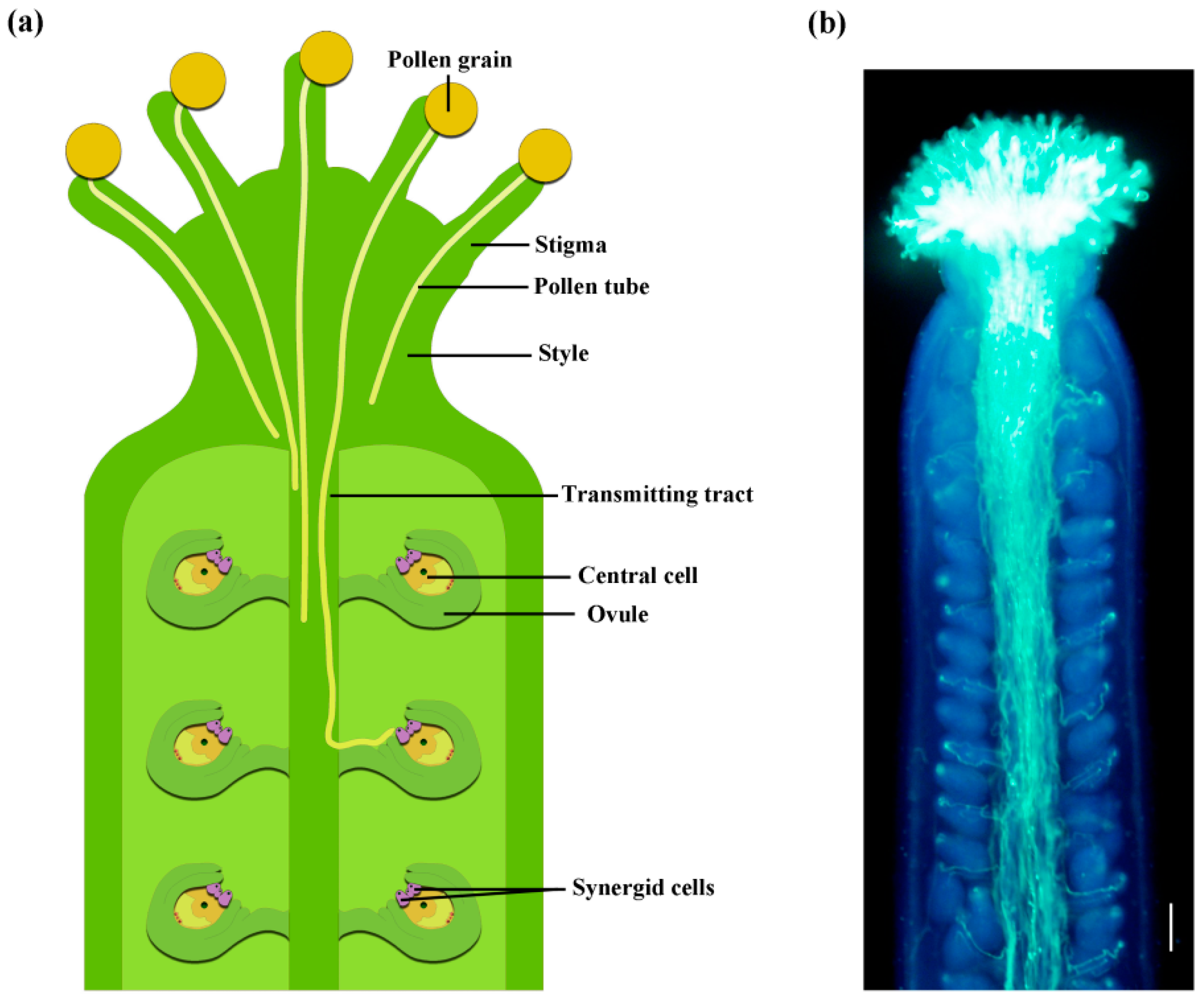 IJMS   Free FullText   The Long Journey of Pollen Tube in
