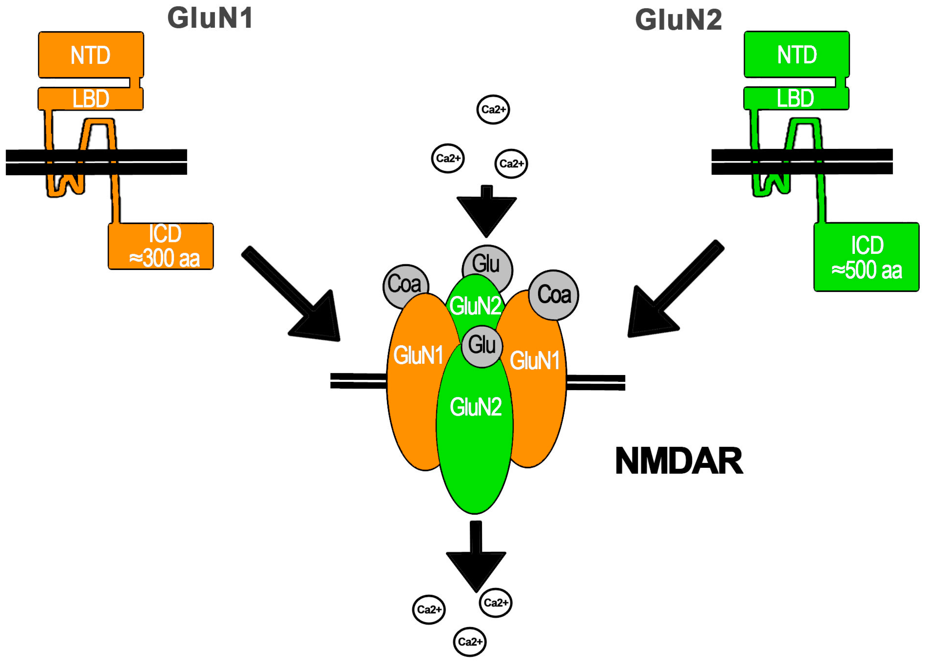 Ijms Free Full Text Flux Independent Nmdar Signaling