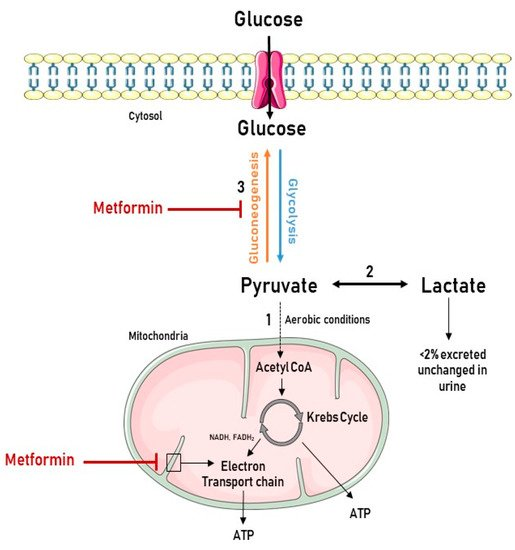 Ijms Free Full Text Metformin A Candidate Drug For Renal Diseases Html