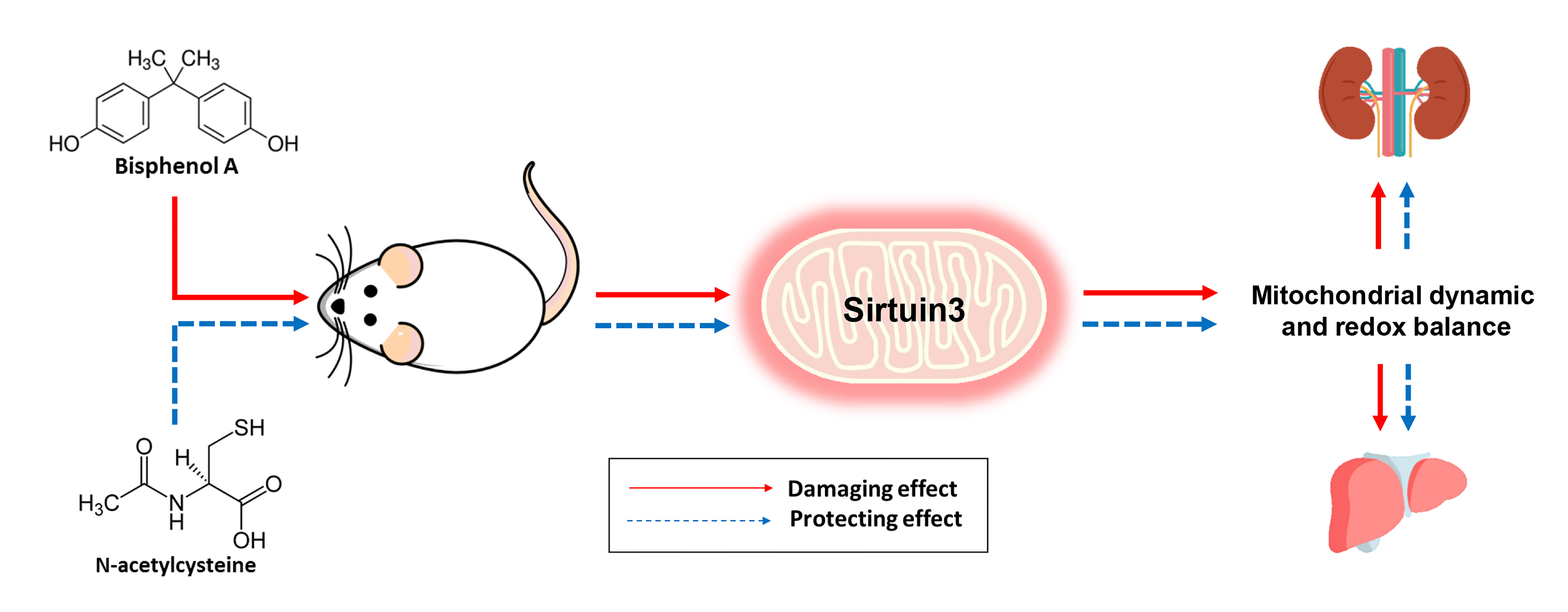 IJMS | Free Full-Text | Activation of Sirtuin 3 and Maintenance of