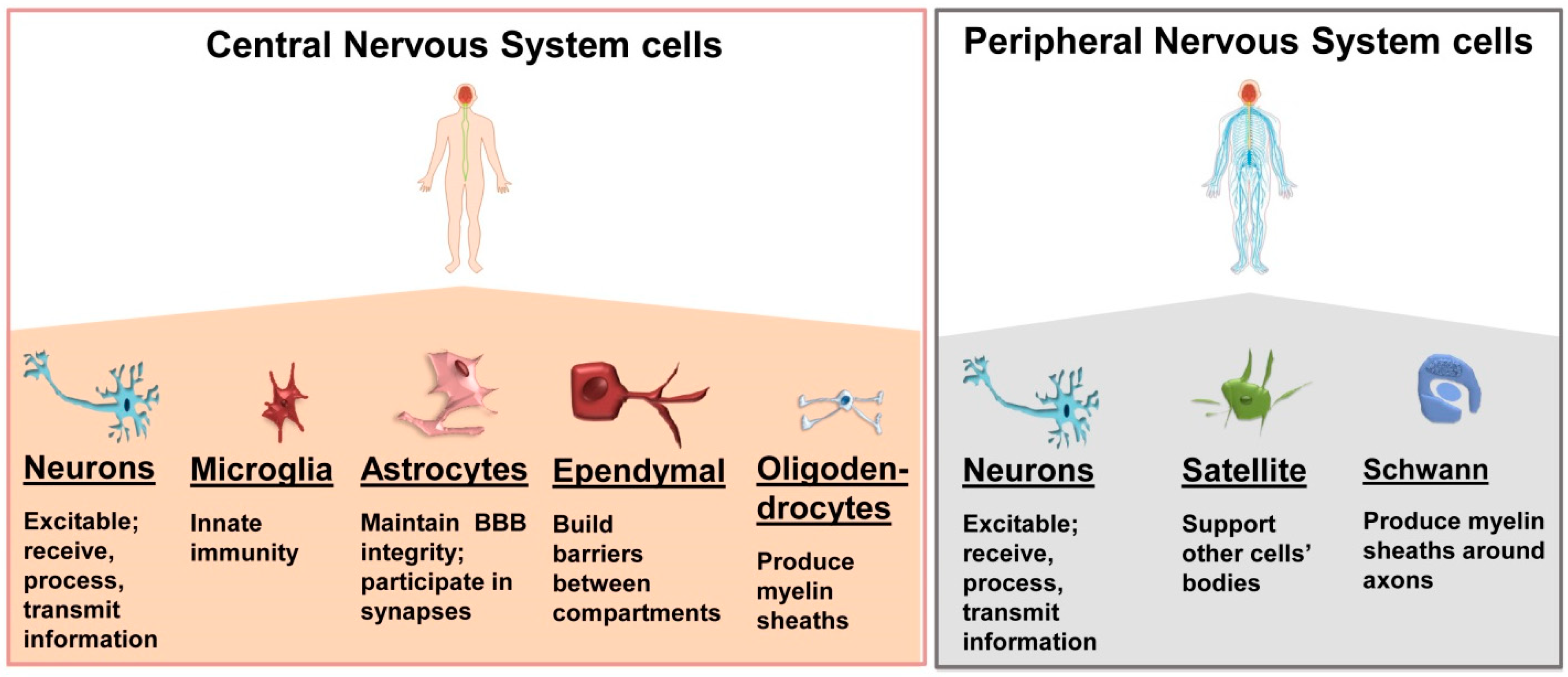 Ijms Free Full Text Extracellular Vesicle Mediated Cellcell